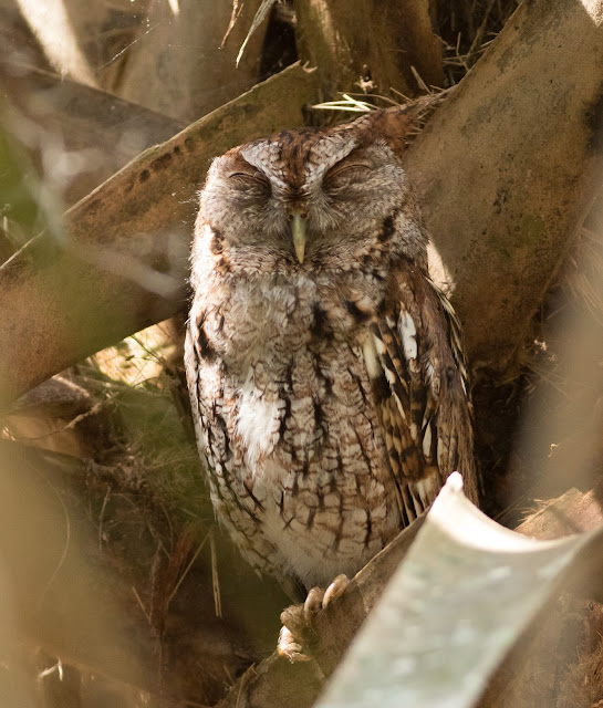 Eastern Screech Owl - Green Cay Wetlands, Florida