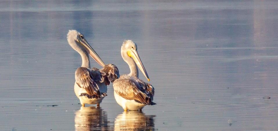 Pink-Backed Pelican, Dwarf bittern, Hermanus, sandbaai, Zeekoevlei, birds, rare birds
