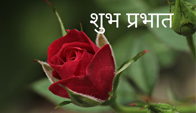 शुभ प्रभात Red Rose Image