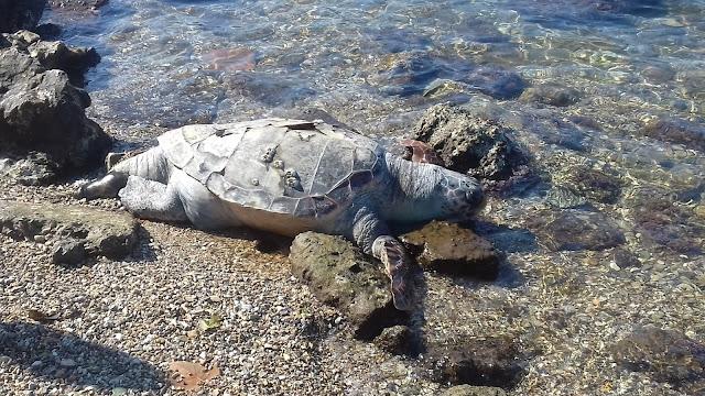 Νεκρή χελώνα Καρέτα - Καρέτα, στο κέντρο της Ηγουμενίτσας (ΦΩΤΟ+ΒΙΝΤΕΟ)
