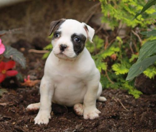 BEST PUPPIES FOR SALE LONG ISLAND NEW YORK: BEST PUPPIES FOR