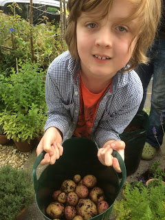 Harvesting potatoes with children, how to get them into growing