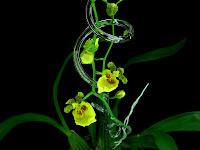 kwiaty storczyka oncidium