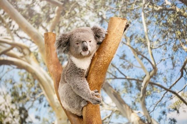 WHERE TO SEE KOALA IN NEW SOUTH WALES, AUSTRALIA