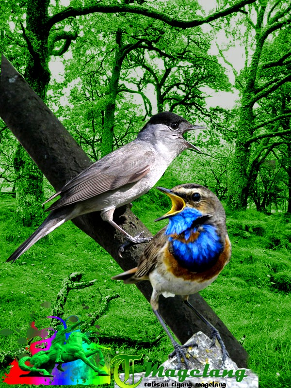 Download mp3 suara burung bluethroat dan eurasian blackcap
