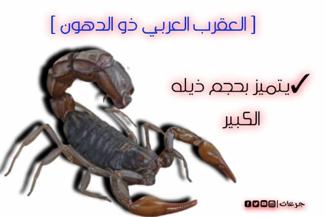العقرب العربي ذو الدهون