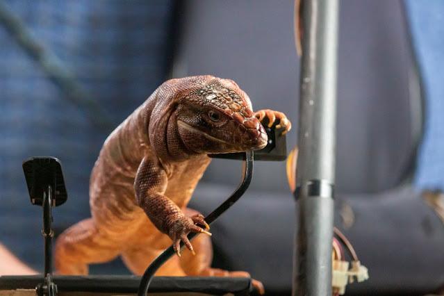 Zeke, the Tegu lizard showing off his tech skills