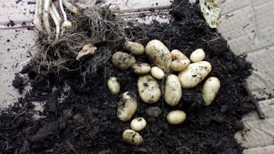 New potatoes Watering and Harvesting: August on The 80 Minute Allotment