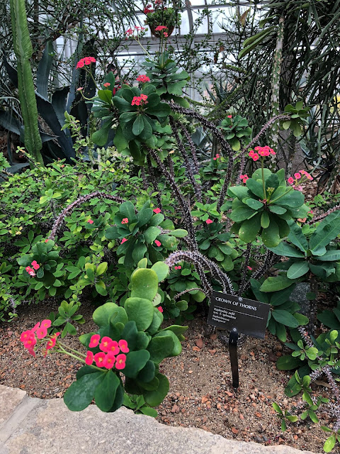 Crown of Thorns abloom at Oak Park Conservatory.