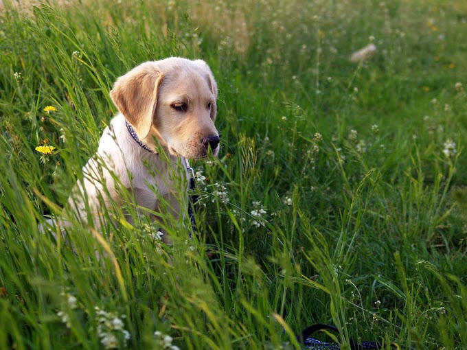 Why do dogs eat grass, Is eating grass harmful for them?