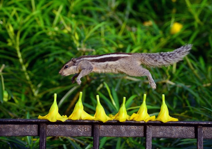 Squirrel taking long leap above the flowers