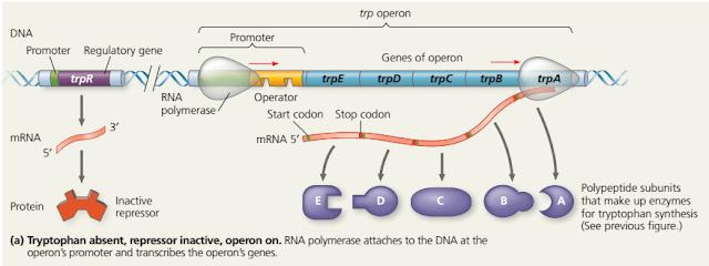 regulasi ekspresigen pada bakteri, regulasi sintesis triptofan, enzim dalam sintesis triptofan, feedback inhibition dalam regulasi ekspresi gen, operon model, trp operon, Gen adalah, Repressor adalah, Promotor adalah, lac operon, lac operon adalah, regulasi metabolisme laktosa, metabolisme laktosa, gen lacZ, lacY dan lacA, Regulasi metabolisme Glukosa dan Laktosa, cyclic AMP (cAMP) adalah, catabolite activator protein (CAP) adalah