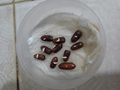 imbibisi pada benih biji  tumbuhan
