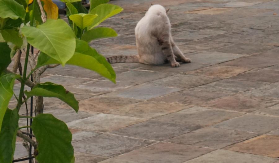 Aiden, senior cat giving himself a bath one fine evening.