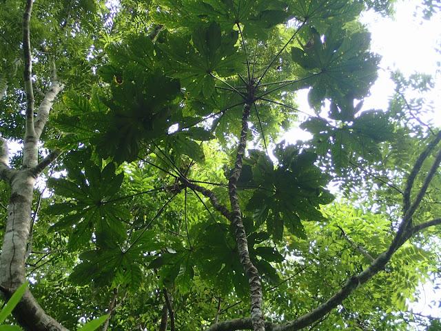 Brassaiopsis glomerulata