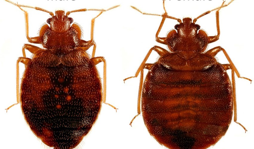 Why Are Bed Bugs So Appalling?