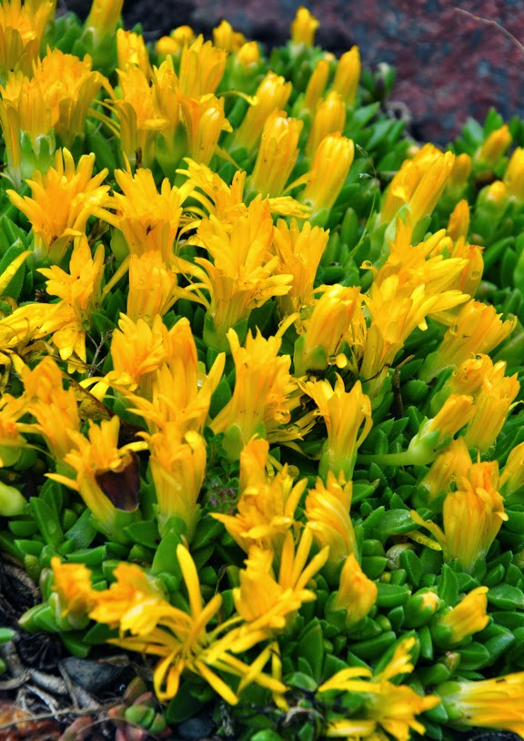 Succulent ground cover yellow flowers image collections flower succulent ground cover yellow flowers image collections flower succulent ground cover yellow flowers gallery flower decoration mightylinksfo
