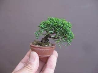 bonsai mini7