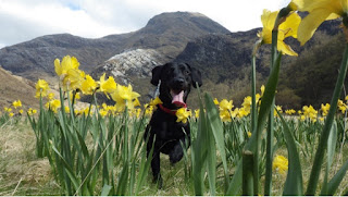 black dog running though yellow flower in hills