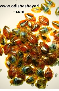 Baby bed bugs gathering