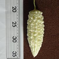初収穫した純白ゴーヤ