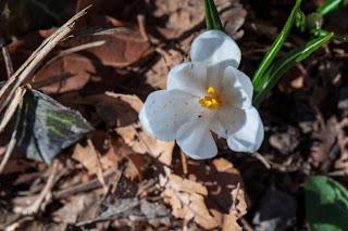 [Iridaceae] Crocus sp. likely C. vernus