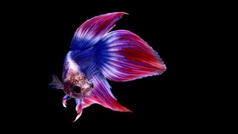 Top Pet Betta Fish Choices Image