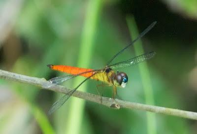 Orchithemis pulcherrima