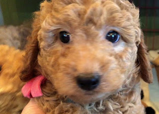 F3 Goldendoodle Temperament, Size, LifeSpan, Adoption, Price