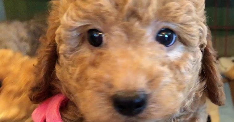F3 Goldendoodle Temperament Size Lifespan Adoption Price