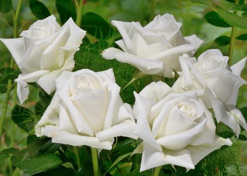 Lina Renaissance  rose сорт розы фото