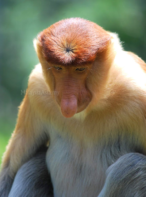 Proboscis Monkey Large Nose
