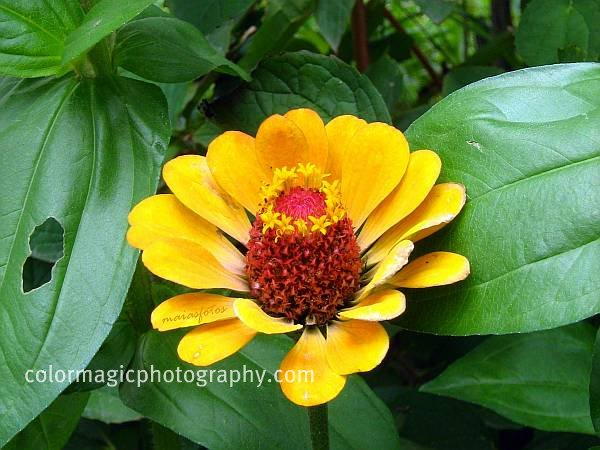 Yellow zinnia flower-macro photo