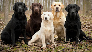 Con rasgos como estos, ¿es de extrañar que el Labrador Retriever sea la raza de perro más popular en todo el mundo