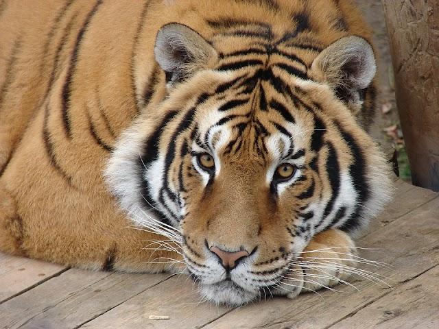 Tigris kóborol egy amerikai városban