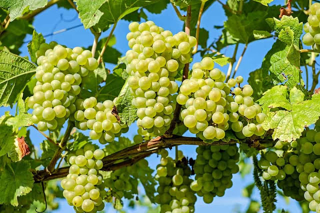 benefits of Grapes for health and beauty