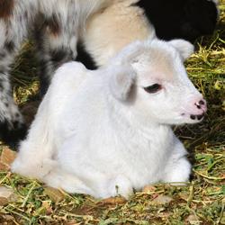 Goat 02