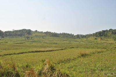 Pemandangan Sawah di jalur menuju ke Goa Lalay