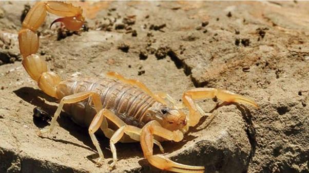 nọc độc của bọ cạp Deathstalker