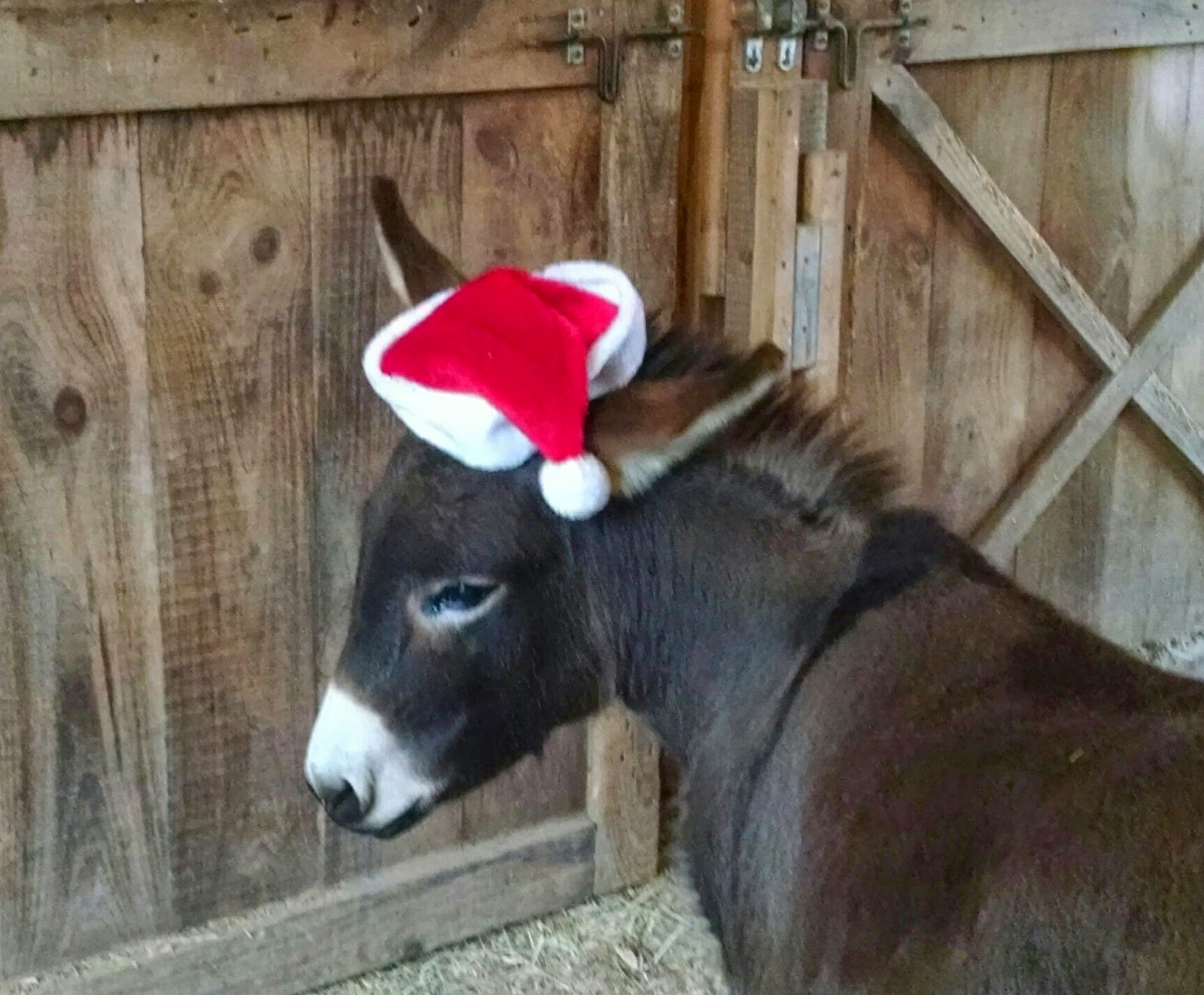 brown miniature donkey in red and white Christmas hat