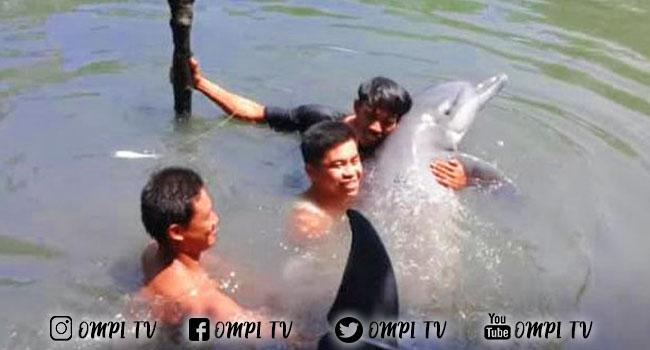Di Sulsel Ditemukan Lumba-Lumba Tersesat Di Empang, Diduga Ia Tersesat
