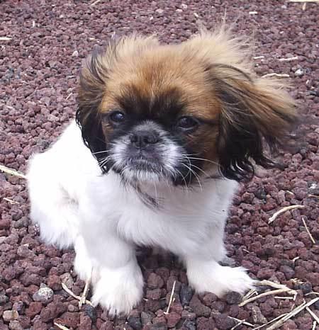 Cute Dogs: Black Pekin...