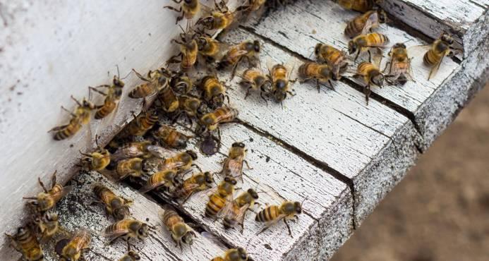 Estudiantes crean proyecto para reducir mortandad de las abejas