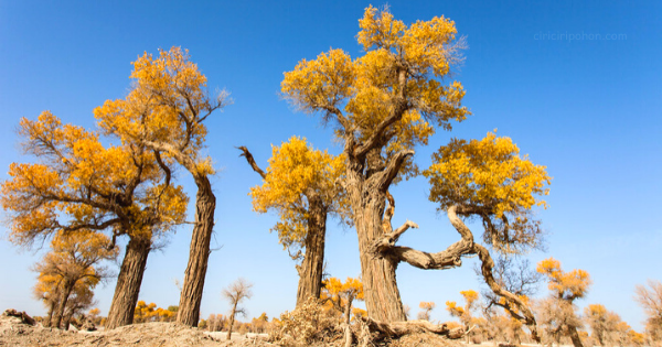 Pohon Eufrat