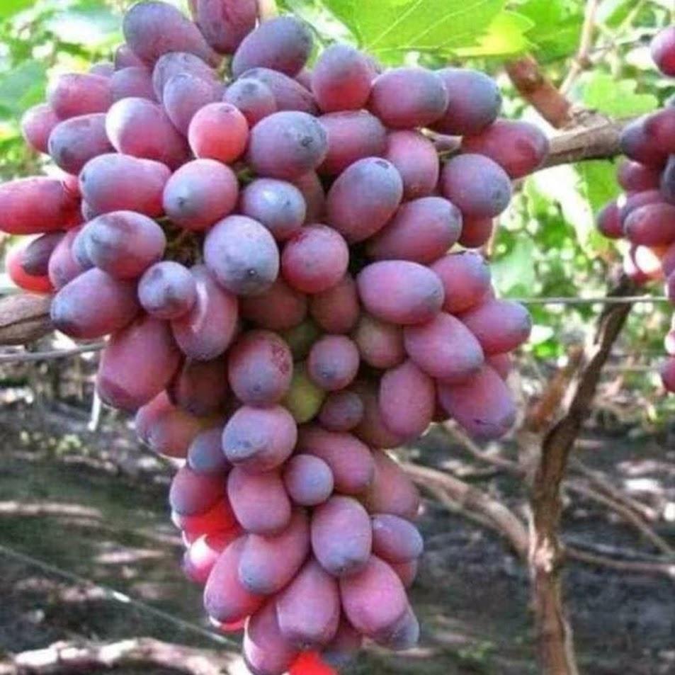 Bibit Tanaman anggur import unggul Pekanbaru