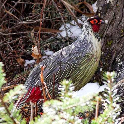 Indian bird blood pheasant - Ithaginis cruentus