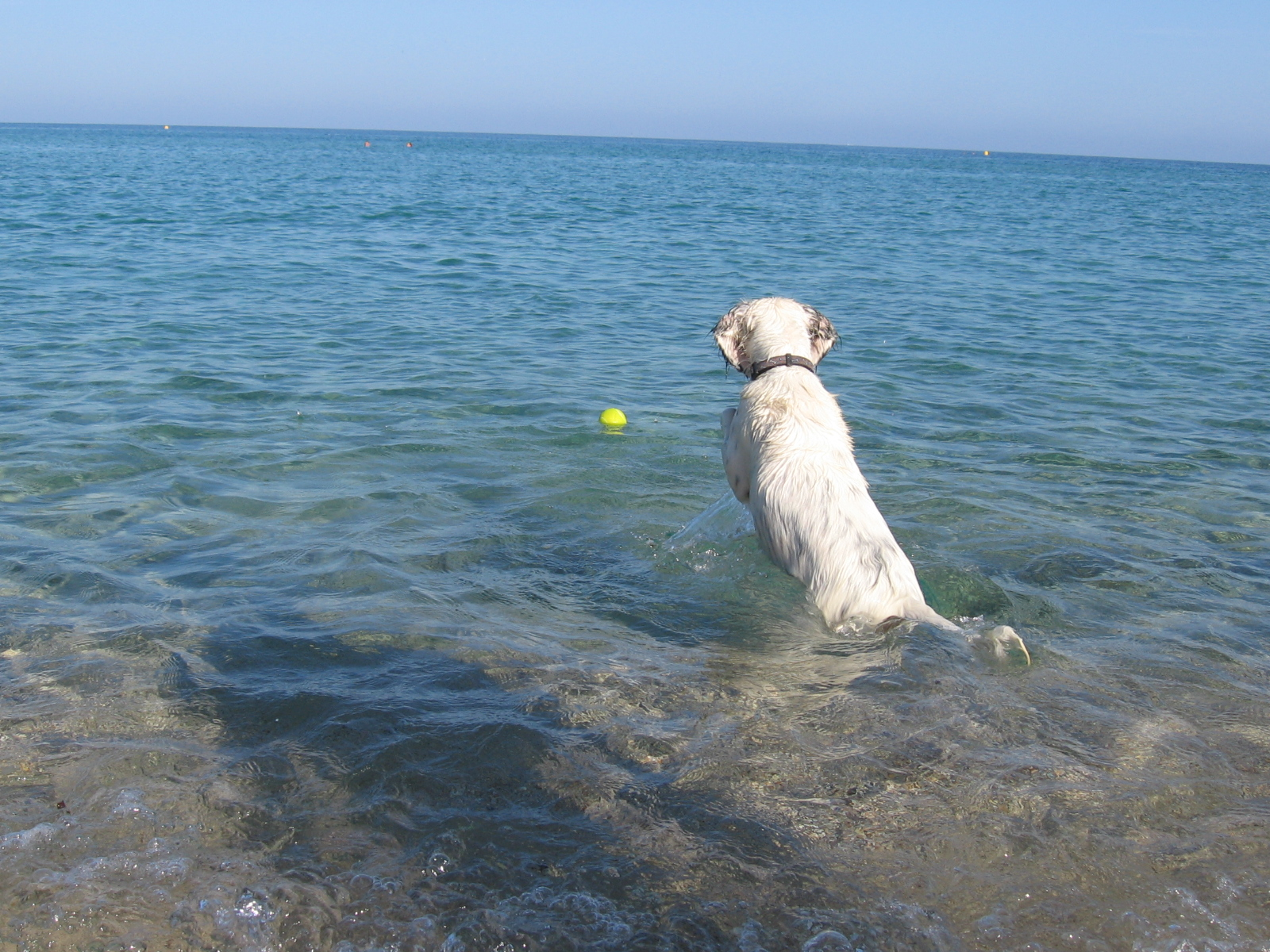 dog paddling in the sea