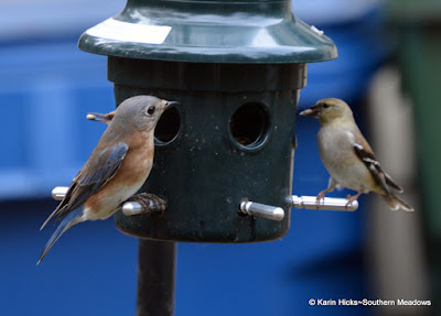 bluebird and goldfinch at feeder