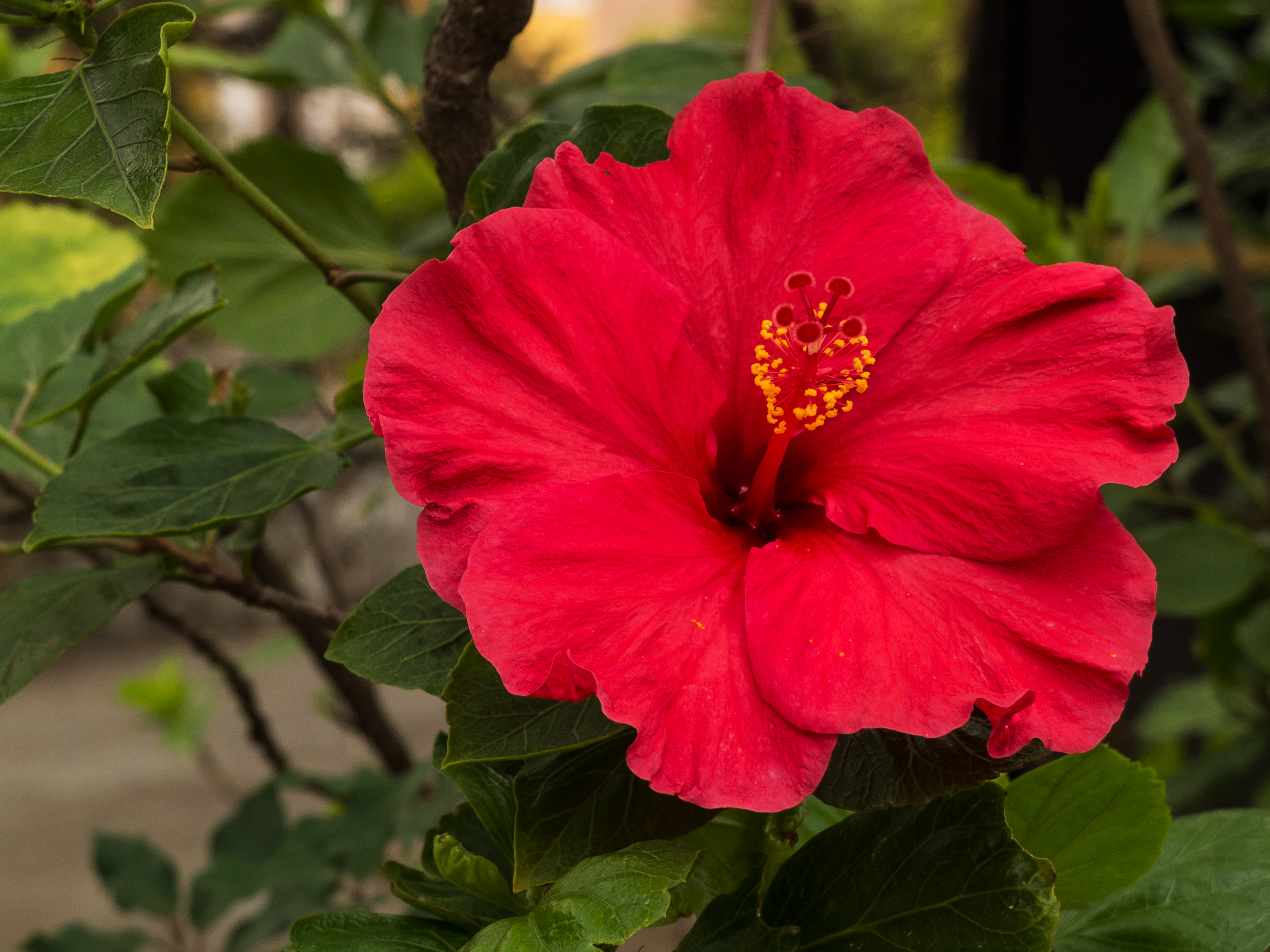 A close up of a pink Hibiscus flower in Gibraltar.