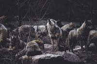 Wolf Pack - Photo by Thomas Bonometti on Unspla